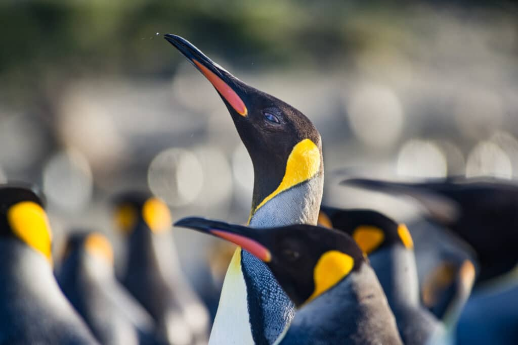 Pinguin-Kolonie-Natuur-Dieren-Cruise
