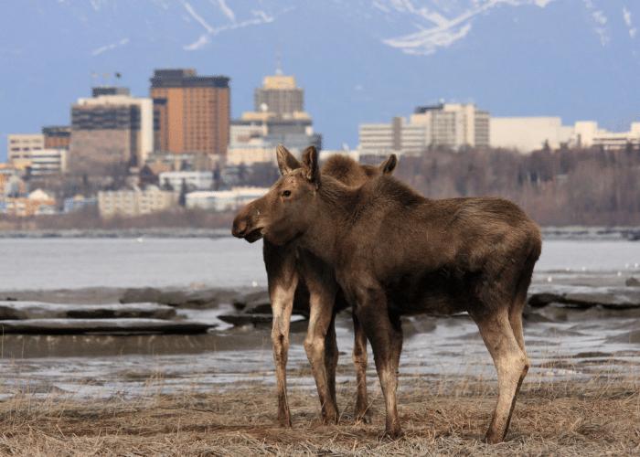 Alaska-Anchorage-cruise-haven-uitzicht-eland