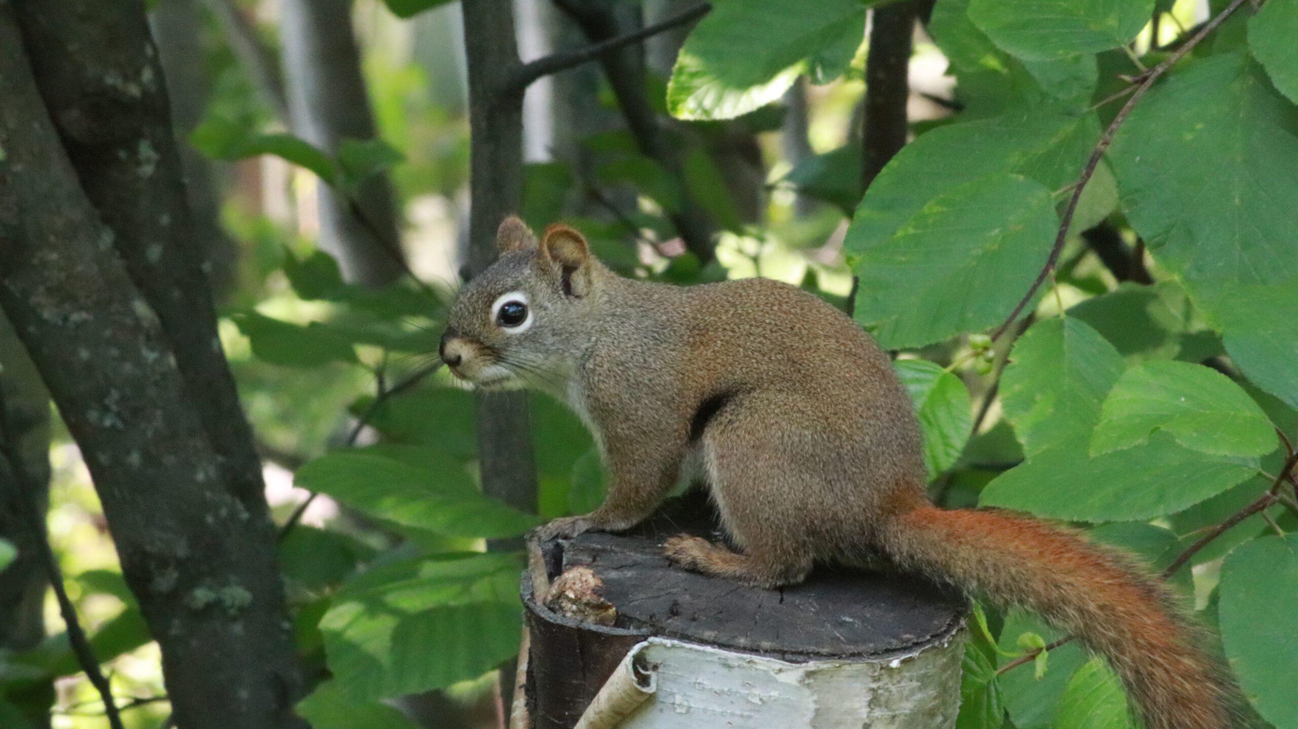alaska-Fairbanks-eekhoorn-natuur