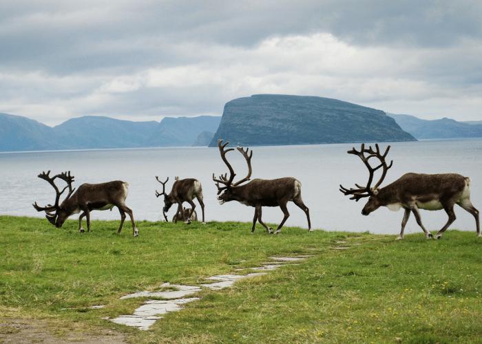 noorwegen-Hammerfest-rendieren-natuur-landshap-bergen
