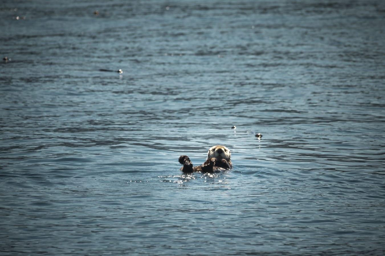 verenigde-staten-alaska-icy-strait-point-zeeotter